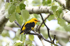 Golden oriole. The male oriole sitting on a branch. Oriolus oriolus, Golden Oriole Stock Image
