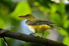 Golden Oriole in natural habitat (Oriolus oriolus) Royalty Free Stock Photos