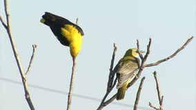 Golden oriole perched on tree. Blue sky background. stock footage