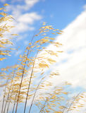 Golden ornamental grasses Royalty Free Stock Image