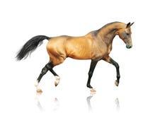 Golden outstanding akhal-teke horse. The golden outstanding akhal-teke horse royalty free stock images
