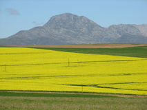 Golden overberg canola fields Royalty Free Stock Photos