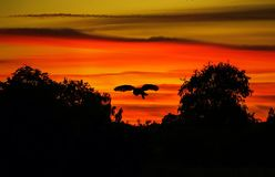 Golden Owl. Barn owl & x28;Tyto Alba& x29; silhouette against a burning summer sunset in Suffolk, England Royalty Free Stock Photos