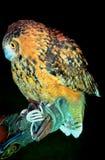 Eurasian Eagle Owl(Bubo bubo)  closeup full view Stock Images