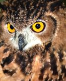 Eurasian Eagle Owl(Bubo bubo) closeup  Stock Photography