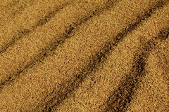 The Golden Paddy Royalty Free Stock Image