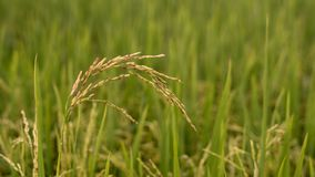 Golden paddy at paddy field Stock Image
