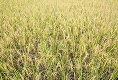 Golden paddy field Stock Photos