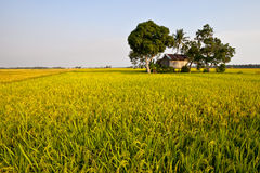 Golden Paddy field Royalty Free Stock Photos