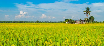 Golden Paddy field, road and a house Stock Photography
