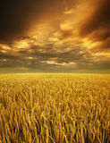 Golden paddy fields landscape. View in morning sunrise with cloudy sky Stock Images