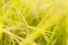 Golden paddy rice farm Stock Image