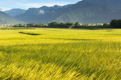 Golden paddy rice farm Royalty Free Stock Image
