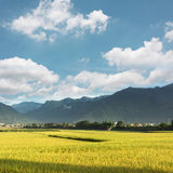 Golden paddy rice farm Stock Photography