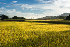 Golden paddy rice farm Royalty Free Stock Images