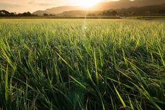 Golden paddy rice farm Royalty Free Stock Photos