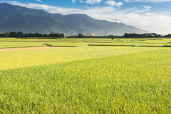 Golden paddy rice farm Stock Photo