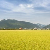 Golden paddy rice farm Royalty Free Stock Photography