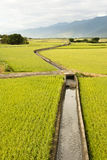 Golden paddy rice farm Stock Images