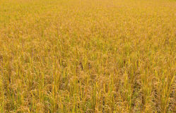 golden paddy rice field ready for harvest Royalty Free Stock Images