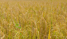 golden paddy rice field ready for harvest Stock Photos