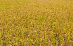 golden paddy rice field ready for harvest Stock Photography