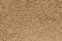 Golden Paddy Rice Seeds Background Stock Images