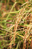 Golden paddy rice Stock Photo