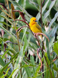 Golden Palm Weaver. The Golden Palm Weaver (Ploceus bojeri) is able to weave solid nests and is quite common in Kenya Royalty Free Stock Image