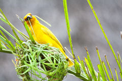 Golden palm weaver bird Royalty Free Stock Image