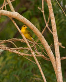 Golden Palm Weaver Royalty Free Stock Images