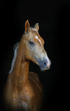 Golden palomino foal. On a black background Stock Photos