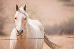 Golden Palomino Horse Royalty Free Stock Photo