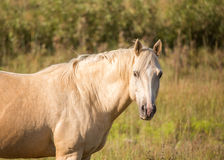 Golden Palomino Horse. Handsome Palomino horse in a field on a sunny autumn day Royalty Free Stock Photography