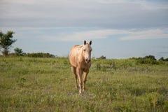 Golden Palomino Horse. Horizontal image of a Golden Palomino horse in a grass field on a ranch Stock Photos