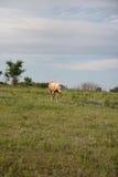 Golden Palomino Horse. Vertical image of a Golden Palomino horse in a grass field on a ranch Royalty Free Stock Photos