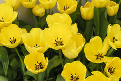 Golden Parade ,Giant Tulips (Darwin Hybrid). Yellow tulips in spring with soft focus Royalty Free Stock Photography