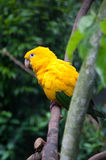 Golden Parakeet. (one of the typical Brazilian birds) at Bird Park in Iguassu, Brazil Stock Photography