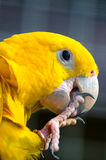 Golden Parakeet. A Golden Parakeet in the zoo in Kaluga region Royalty Free Stock Photo