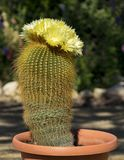 Golden Parodia Leninghausii Ball Cactus in Bloom stock photography