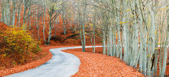 Golden path. A panoramic view of rural path into the woods during autumn season Stock Photos