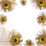 Golden Peacock Feathers royalty free stock photo