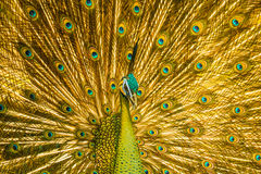 Golden peacock Stock Image
