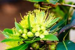 Golden penda Royalty Free Stock Photos