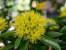 Golden penda flower. (xanthostemon chrysanthus) expo gold flower or thai first meet love flower Stock Images