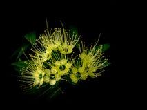 Golden penda flower. (xanthostemon chrysanthus) expo gold flower or thai first meet love flower Stock Photo