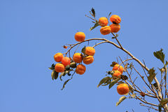 The golden persimmon on the branch Royalty Free Stock Image