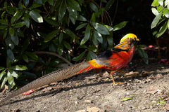 Golden pheasant Royalty Free Stock Photography