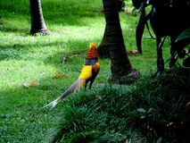 Golden Pheasant. Digital photo of a golden pheasant from the back side Stock Image