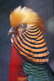 Golden Pheasant. Vividly colored Golden Pheasant peering to left Stock Image
